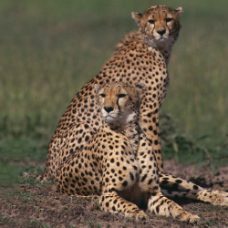 Guests can see cheetah on their safari // © 2013 Thinkstock