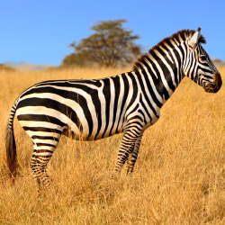 <p>Zebra are among the abundance of wildlife found in Kenya's Masai Mara.  // © 2014 Thinkstock</p><p>Feature image (above): A Masai warrior at sunset...