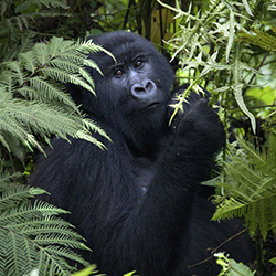 Travel agents will spot gorillas in their natural habitat on this trip with Nkuringo Walking Safaris. // © 2015 Thinkstock