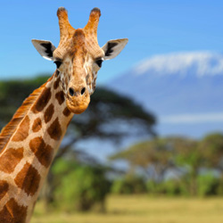 Giraffe standing in front Africa's Mount Kilimanjaro // © 2014 Thinkstock