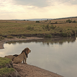 Agents may spot lions at the Maasai Mara Reserve in Kenya.