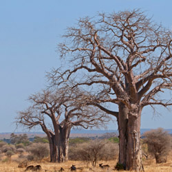 Travel agents will see Baobab trees and wildlife while on safari in Tarangire National Park. // © 2015 Thinkstock