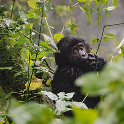<p>Agents will encounter gorillas in their natural habitat during a trek through Bwindi National Park. // © 2016 iStock</p><div></div>