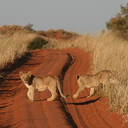 <p>!Xaus Lodge guests may spot lion cubs during game drives. // © 2016 !Xaus Lodge</p><p>Feature image (above): The property is located in Kgalagadi...