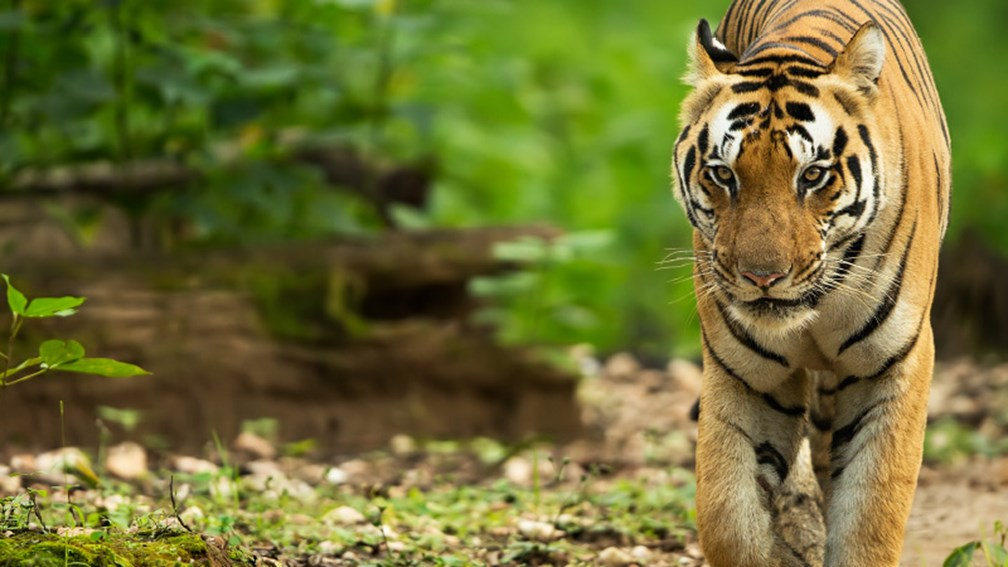 How to Have a Tiger Safari in India