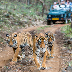 <p>Clients visiting Ranthambore National Park may see tigers roam throughout the day. // © 2017 iStock</p><p>Feature image (above): Komodo National...