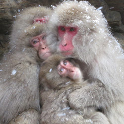 Snow monkeys, or Japanese Macaques, can be spotted on the islands of Honshu, Shikoku and Kyushu. // © 2014 Julie Snider