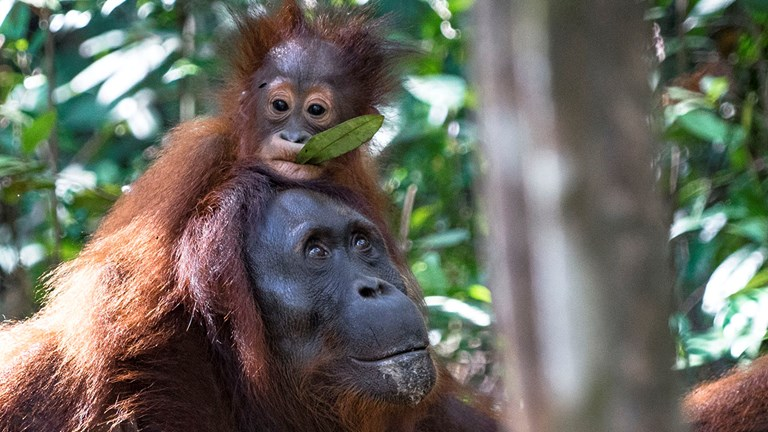 See the orangutans in Kalimantan's Samboja Lestari rehabilitation cent