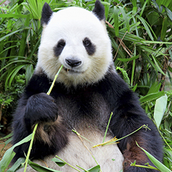 Agents on this fam will see pandas at Chengdu Research Base of Giant Panda Breeding. // © 2014 Thinkstock