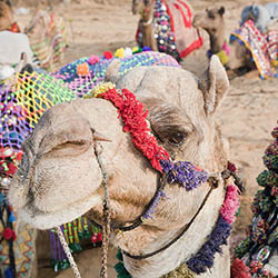 <p>Advisors will visit the annual Pushkar Camel Fair, also called Pushkar ka Mela. // © 2016 iStock</p><p> </p>