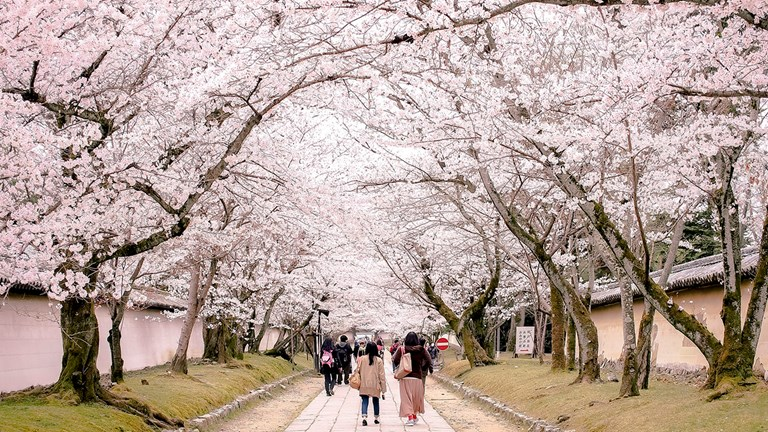 Cherry blossom season is a time-sensitive event in Japan that is popular with tourists and locals alike.