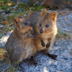 <p>Off the coast of Perth is Rottnest Island, home to the world's largest population of quokkas. // © 2015 Tourism Western Australia</p><p>Feature...