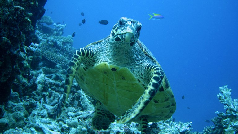 Coco Palm Dhuni Kolhu provides a safe and monitored nesting site for endangered sea turtles.