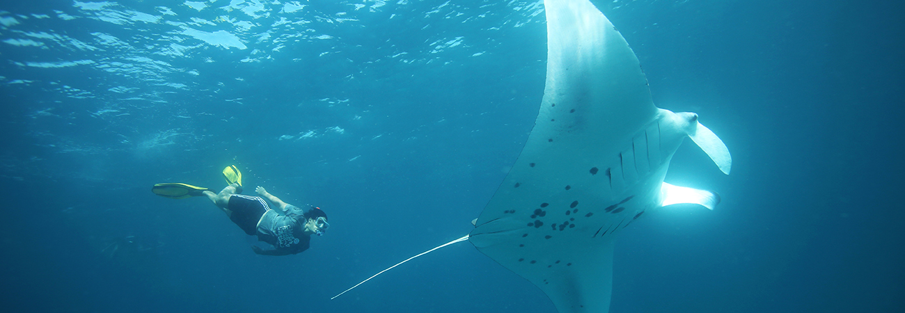 Go to the Maldives for Grand Manta Ray Encounters