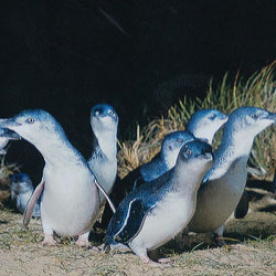 "<p>Clients can watch the Penguin Parade on Phillip Island. // © 2017 Creative Commons user <a href=""https://www.flickr.com/photos/wouterdb/334806036/""..."