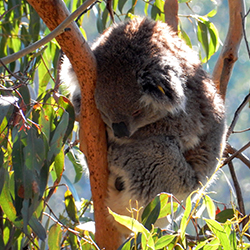 <p>Clients who visit Phillip Island can tour the Koala Conservation Centre. // © 2015 Shane Nelson</p><p>Feature image (above): Phillip Island is home...