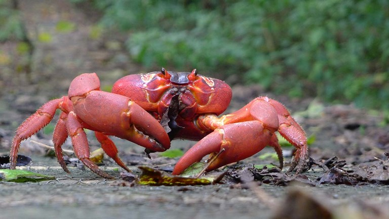 Each year, large red crabs leave behind the jungle on Christmas Island, parading to the shoreline to breed.