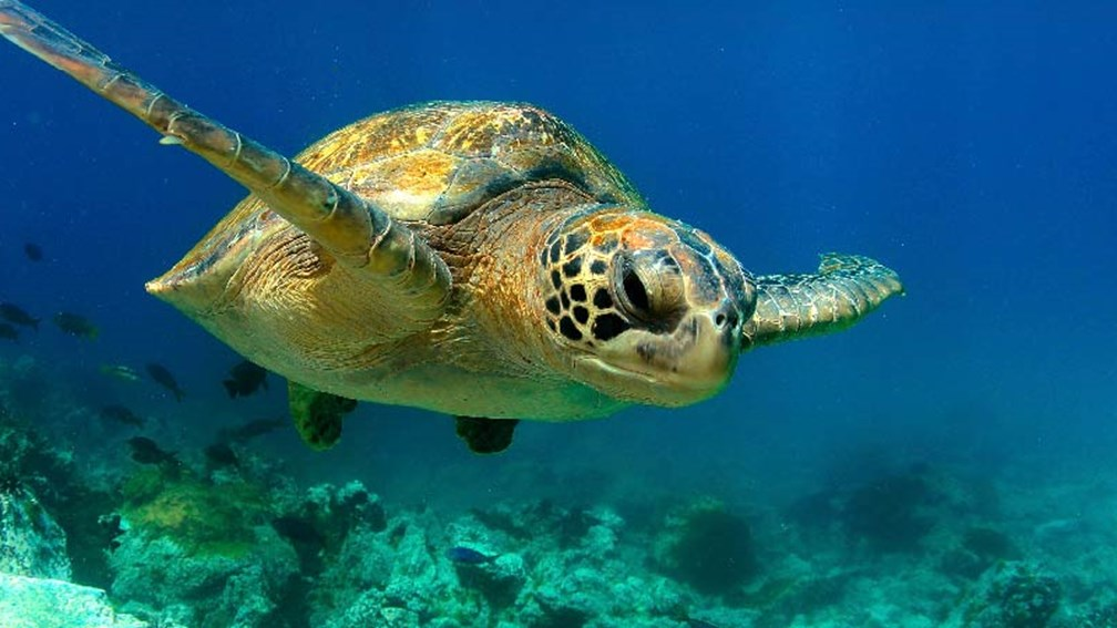 Green sea turtles are one of many animal species that live in the waters around the Galapagos Islands. // © 2015 Thinkstock 3
