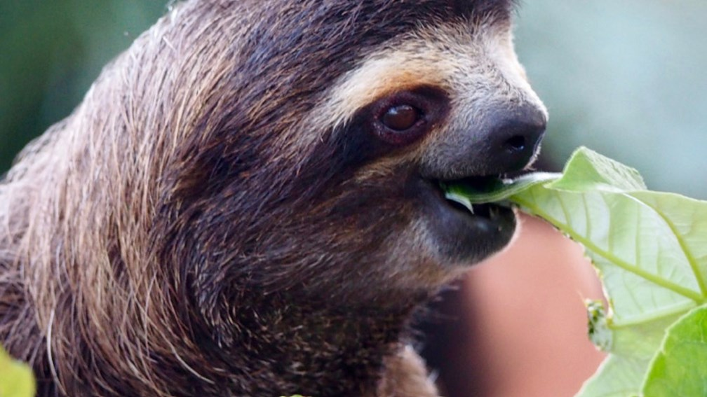 Sloths are the No. 1 animal rescued in Panama. // © 2016 Zorianna Kit 2