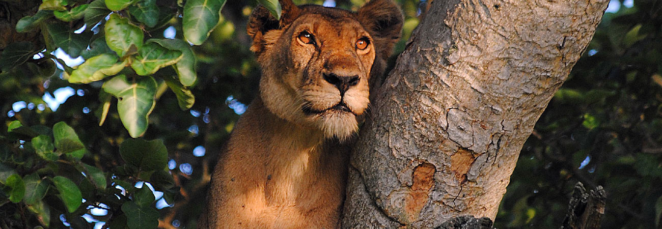 Where to Find Tree-Climbing Lions in Uganda