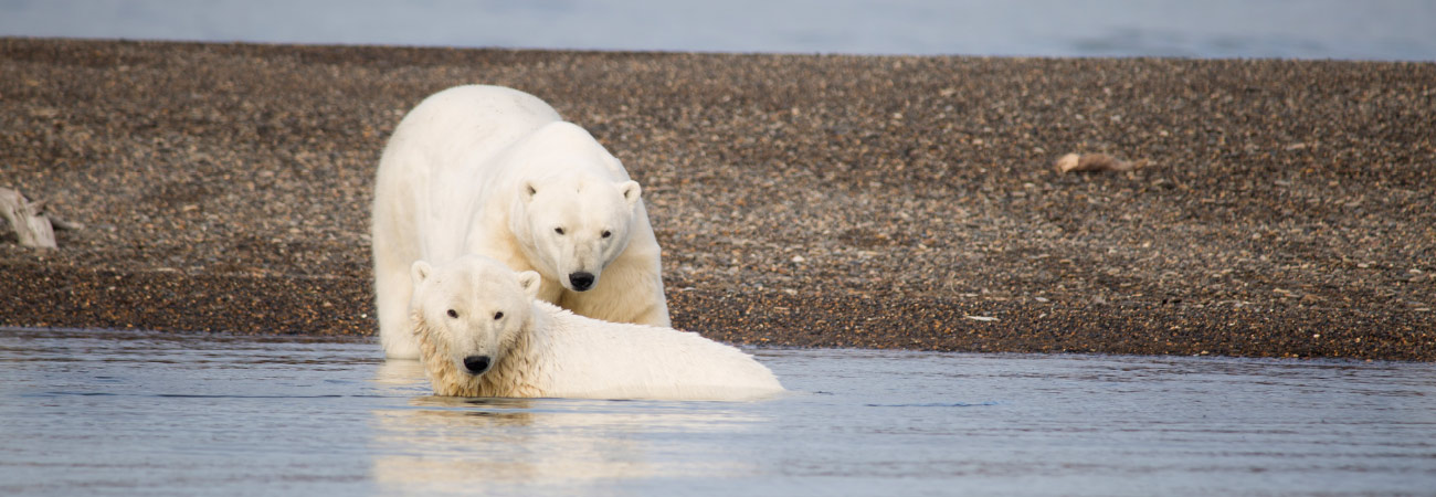 The Curious Case of the Kaktovik Polar Bears