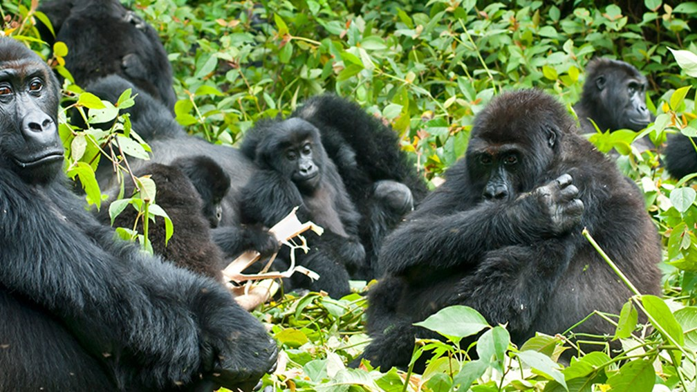 Just Got Back: Gorilla Trekking in Africa