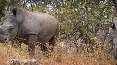 A Guide to Tracking Rhinos in Zimbabwe