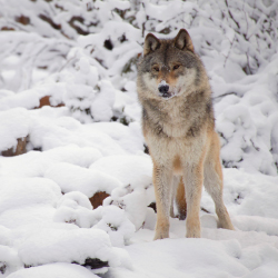 "<p title=""temporary paragraph, click here to add a new paragraph"">Spot wolves and other wildlife at Yellowstone National Park. // © 2014..."