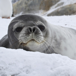 <p>Spot seals on an Antarctica expedition. // © 2015 Thinkstock</p><p>Feature image (above): Sea lions, along with humpback whales, albatross,...