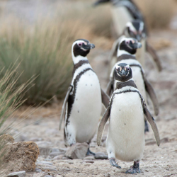 <p>Magellanic penguins on Argentina's Punta Tombo peninsula // © 2015 Thinkstock</p><p>Feature image (above): PDT Tours can bring travelers to...