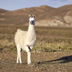 <p>Libertador guests can explore the Sacred Valley alongside llamas. // © 2015 Thinkstock</p><p>Feature image (above): Take snapshots of Argentine...