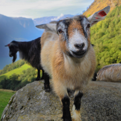 <p>Hang out with goats in Norway. // © 2015 Flam Guide Service</p><p>Feature image (above): A view of a fjord // © 2015 Simon Dannhauer</p>