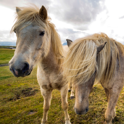 <p>Native horses roam throughout Iceland. // © 2016 iStock</p><p>Feature image (above): Skogafoss is one of the largest waterfalls in Iceland. // ©...