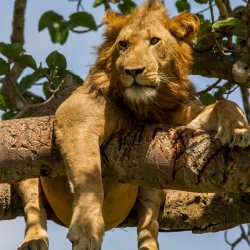 <p>Lions climb the surrounding trees for respite from the sun and tsetse flies. // © 2017 Koen Sneyers, Belgium Technical Corporation</p><p>Feature...