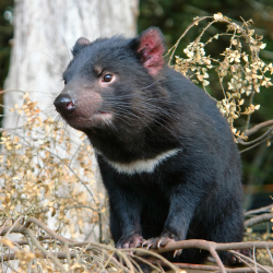 <p>A cancerous disease nearly wiped out the devil population on mainland Tasmania. // © 2017 iStock</p><p>Feature image (above): Clients are likely to...