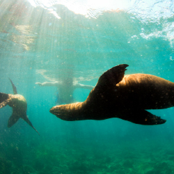 <p>Swimming with wild sea lions is a top activity in the region. // © 2017 Getty Images</p><p>Feature image (above):South Australia has great spots...