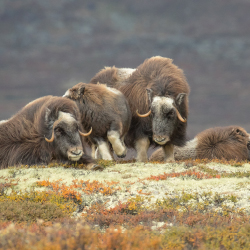 <p>Musk oxen are among the many species spotted during the cruise. // © 2017 Getty Images</p><p>Feature image (above): Passengers can get a closer...