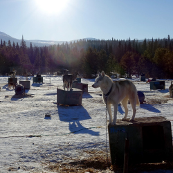 <p>Muktuk Adventures has more than 100 sled dogs at its kennel. // © 2017 Will McGough</p><p>Feature image (above): Yukon Quest is a 1,000-mile...
