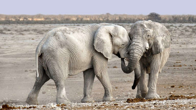 The Namib Desert in Namibia has desert-adapted elephants that go days without water.
