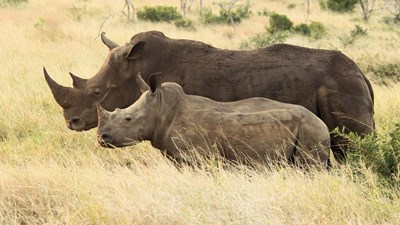 A Closer Look at Rhino Dehorning in South Africa