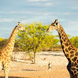 Families are likely to see giraffes and a number of other wild animals at Hoanib Skeleton Coast Camp in Namibia. // © 2014 Row Adventures