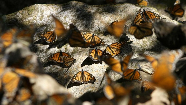 Monarch butterflies swarm to Michoacan in central Mexico during the winter to seek out a warmer climate.