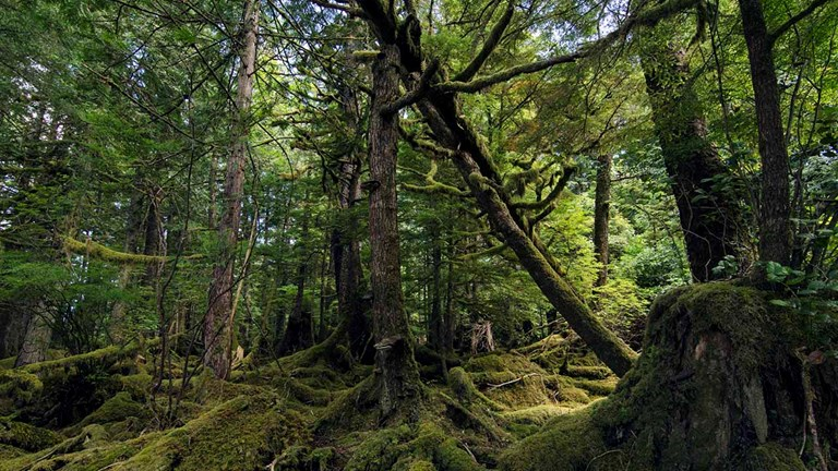 Trek through mossy temperate rainforests in Haida Gwaii, British Columbia.