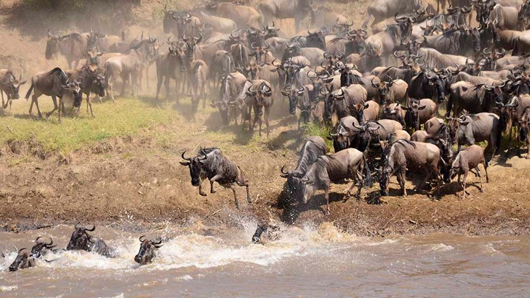 Vast hordes of wildebeest must often cross rivers along their migration path, leaving them open to attacks from lions and crocodiles.