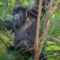 A mountain gorilla in his natural habitat in Rwanda // © 2013 Bob Demyan