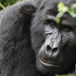 Travelers trek to see mountain gorillas on Zegrahm's Uganda: A Primate Paradise expedition. // © Zegrahm Expeditions