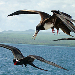 <p>Frigate birds, with their bright red gullets, can be found in Barbuda. // © 2018 Antigua and Barbuda Tourism Authority</p><p>Feature image (above):...