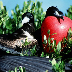 <p>Bird-watching at Barbuda's Frigate Bird Sanctuary is often a highlight for visitors to the island. // © 2014 Antigua and Barbuda Tourism...