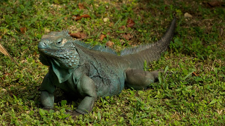 See the Grand Cayman blue iguana at the Queen Elizabeth II Botanic Park on Grand Cayman.