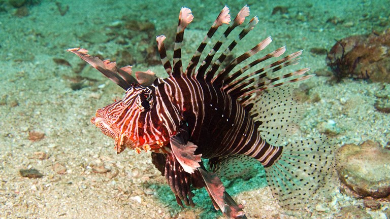 Restaurateurs on Curacao have found a solution to the lionfish's threat to marine life.